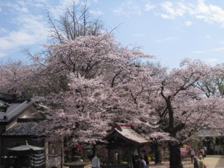 桜満開01
