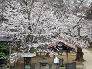 桜満開03
