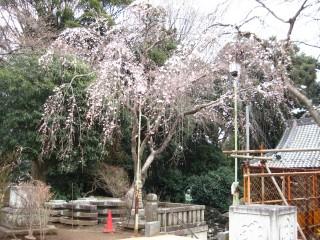 桜満開04